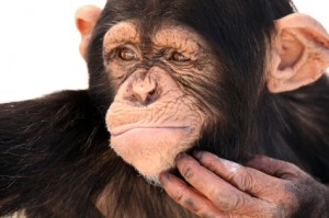 chimp-scratching-chin-300x199